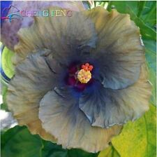 AA 10PC hibiscus flower seeds giant hibiscus seed Black Metalic Color