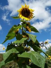 40 mongolin giant sunflower seeds 2016 stock , cracking plants to grow