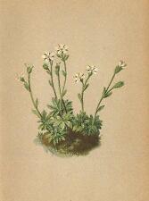 Alpine Flores: Pimpinela androsacea L-mannsschildähnlicher steinbrech; 1897