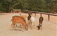 Postcard Tame Deer at Zoo, Parke County, IN