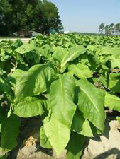 1,000 Organic Virginia Tobacco Heirloom Seeds
