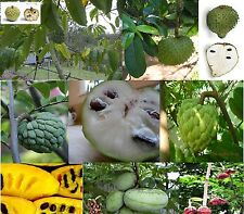 Persimmon, Annona, Sapote, Custard-apple fruit tree types Yummy - U pick Seeds