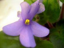African violet PLUG starter plant S. HOUSE OF AMANI