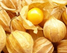 Cape Gooseberry - PHYSALIS PERUVIANA - 20 Seeds  Vegetables/ Fruits Seeds