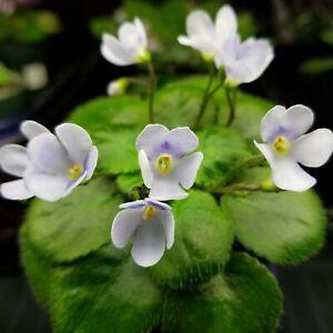 S. Schumensis Miniature African Violet Starter Plant (species)