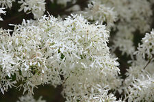 CHINESE FRINGETREE Chionanthus retusus seedling plant in 7cm pot FLUFFY FLOWERS