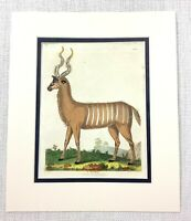 1816 Mano Colorato Incisione The Stripped Antilope Wild Animali Naturale Storia