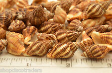 Latrius Gibbucus Seashell QTY - 5 PIECES Shell Healing Reiki Transformation