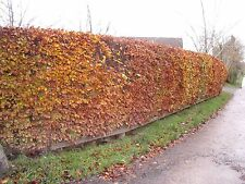 10 Green Beech Hedging 2-3ft 1L Pots, Fagus Sylvatica Trees,Brown Winter Leaves