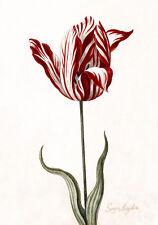 C1600s Still Life Dutch Painting Tulip Botanical Quality Canvas Print