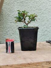 Chojubai Japanese Quince,  Bonsai Tree Starter Material Red Chaenomeles Speciosa