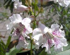 Chitalpa tashkentensis - Baumoleander - Trompetenbaum