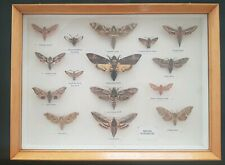 More details for british hawk moth collection (x15) excellent condition collection only blackburn