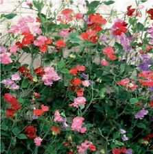 Sweet Pea - Giant Spencer Waved Mixed - 50 Seeds