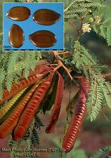 Leucaena Leucocephala seedling plant, Miracle Lead Tree, Koa Haole, false mimosa