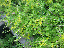 200 Live Plants Fast Growing Ground Cover Plants Sedum
