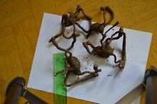 1 pcs amorphophallus albus tuber