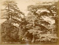 Algérie, Etude de Cèdres  Vintage albumen print.  Tirage albuminé  18x24