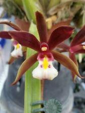 orchid / orchidee Cymbidium  finlaysonianum