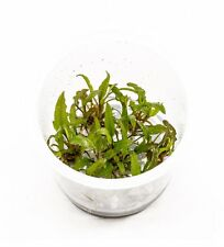Cryptocoryne Wendtii Green in Vitro Live Aquarium Plants Crypt Brown Moss ADA