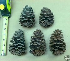 5 Large Ponderosa Pine Cones For Art, Crafts, and Home Decor