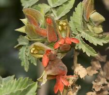 100 Honey Flower Shrub Seeds Rare Melianthus Comosus Bonsai Plants Home Garden