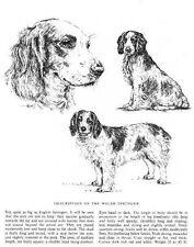 Welsh Springer Spaniel Sketch - 1963 Vintage Dog Print - Matted