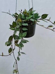 Hoya krohniana black leaves [R24F01], 2 vine 10-12 inches
