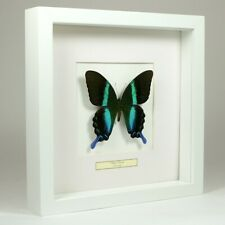 Real taxidermy butterfly mounted in white wooden frame - Papilio Blumei