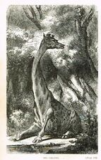 "Great Hunting Grounds - ""THE GIRAFFE""- Woodcut - 1868"