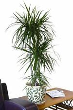 Indoor Plant -House or Office Plant -Dracaena Marginata - Dragon Tree 80cm Tall