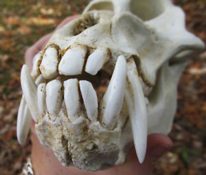 Mandrill baboon monkey ape skull taxidermy REPLICA cast