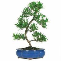 Brussel's Bonsai Dwarf Podocarpus - CT7005PM Outdoor Bonsai Live Tree
