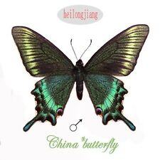 50 Green unmounted butterfly papilionidae Papilio maackii SPRING FORM A1  A1-
