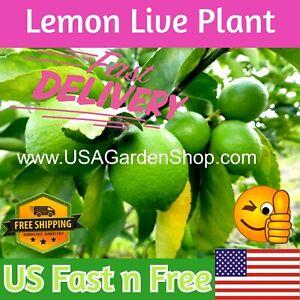 "Cay Chanh Citrus LIME LEMON Tree plant ning meng 拧檬 เลมอน 레몬 レモン 8-12""  plants"