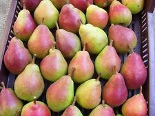 Fruit Seeds - BARTLETT PEAR TREE Pyrus Communis Fruit Seeds