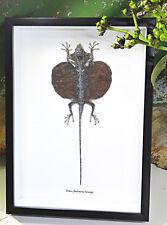 Lizard Taxidermy insect in shadowbox entomology specimens Flying lizard  BNDFH