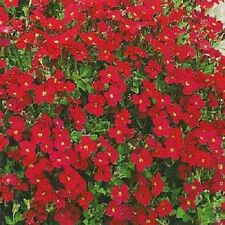 Rocaille Rouge Royale Env. 250 Graines-Rock Cress Aubrieta hybrida