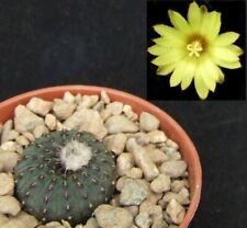 Frailea Asterioides choice 2.2cm flowering size miniature Brazilian cactus