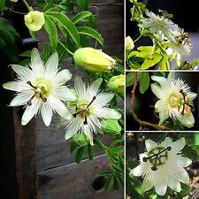 Passiflora caerulea white • 15 Samen/seeds • Passionsblume•Ranker•Passion Flower