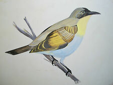 RAYMOND SMALL - 'Zosterops' - Vintage Ornithological Painting - Signed - C. 1978