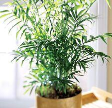 Parlor Palm  - CHAMAEDOREA ELEGANS - 10 Seeds