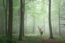Red Deer Stag in Foggy Autumn Forest Photo Art Print Poster 24x36 inch
