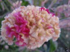 30+ KURUME ROSE COCKSCOMB / CELOSIA FLOWER SEEDS
