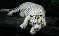 Framed Print - White Bengal Tiger Relaxing in the Rainforest (Picture Animal Art
