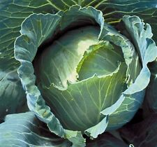 200+Copenhagen Market Cabbage Seeds Heirloom Organic Non-Gmo Fall Planting