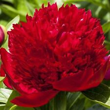 Peony Red Charm - 1 Healthy 3/5 Eye Peony Root Plant - FRAGRANT!