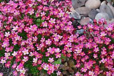 Carpet Flower Seeds Saxifraga Moss 200 Seeds Flower Carpet Perennial Seeds
