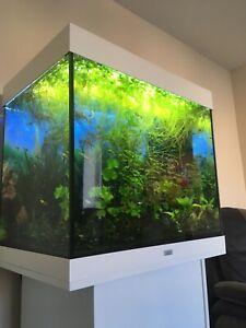 X1 Amazon Frogbit (Limnobium laevigatum) Floating Aquarium/Fish Tank Plant
