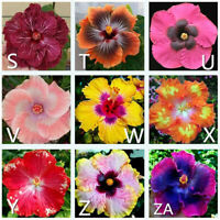 KE_ Gardening Giant Hibiscus Exotic Coral Flower 100 Seeds Mix Rare Blue-Pink